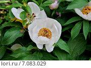Пион древовидный (Paeonia suffruticosa) Стоковое фото, фотограф Илюхина Наталья / Фотобанк Лори
