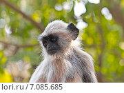 Купить «Портрет молодого лангура, сидящего на дереве», фото № 7085685, снято 25 января 2015 г. (c) Вячеслав Беляев / Фотобанк Лори