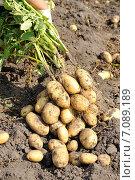 Рука фермера с клубнями картофеля. Стоковое фото, фотограф Светлана Давыдова / Фотобанк Лори
