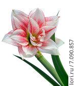 Купить «Цветущий Амариллис», фото № 7090857, снято 9 апреля 2013 г. (c) Литова Наталья / Фотобанк Лори