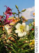 Купить «Лилия ОТ-гибрид в саду», фото № 7092081, снято 5 августа 2012 г. (c) Ольга Сейфутдинова / Фотобанк Лори