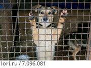 Купить «Собака в приюте стоит за решеткой», фото № 7096081, снято 28 февраля 2015 г. (c) Okssi / Фотобанк Лори