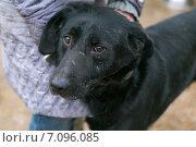 Купить «Черная собака из приюта для бездомных животных», фото № 7096085, снято 28 февраля 2015 г. (c) Okssi / Фотобанк Лори