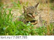 Купить «Красивый домашний кот на прогулке», фото № 7097785, снято 8 августа 2010 г. (c) Мария Разумная / Фотобанк Лори