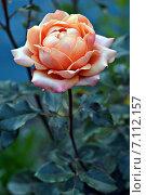 Роза. Стоковое фото, фотограф Мариана Бэлэнеску / Фотобанк Лори