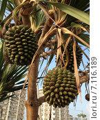 Банановая пальма. Стоковое фото, фотограф Светлана Давыдова / Фотобанк Лори