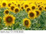 Поле подсолнухов в солнечном свете. Стоковое фото, фотограф Руслан Шувалов / Фотобанк Лори