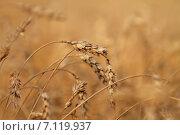 Тяжелые колосья пшеницы в поле. Стоковое фото, фотограф Руслан Шувалов / Фотобанк Лори