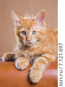 Купить «Котенок породы мейн-кун», фото № 7121697, снято 5 августа 2014 г. (c) Gagara / Фотобанк Лори