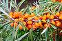 Облепиха оранжевая с зелеными листьями на ветке, фото № 7146597, снято 16 августа 2012 г. (c) Резеда Костылева / Фотобанк Лори