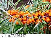 Купить «Облепиха оранжевая с зелеными листьями на ветке», фото № 7146597, снято 16 августа 2012 г. (c) Резеда Костылева / Фотобанк Лори