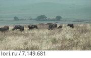 Дикие буйволы в саванне. Национальный парк Серенгети в кратере Нгоронгоро. Танзания. Африка (2014 год). Стоковое видео, видеограф Кекяляйнен Андрей / Фотобанк Лори
