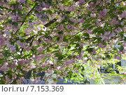 Купить «Яблони в цвету», фото № 7153369, снято 1 мая 2013 г. (c) Татьяна Четвертакова / Фотобанк Лори