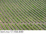 Купить «Ровные ряды виноградных лоз», фото № 7158849, снято 26 мая 2014 г. (c) Анатолий Власов / Фотобанк Лори