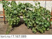 Молодой куст винограда на распорке. Стоковое фото, фотограф Юлия Лифарева / Фотобанк Лори
