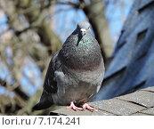 Купить «Сизый голубь (лат. Columba livia)», эксклюзивное фото № 7174241, снято 13 марта 2015 г. (c) lana1501 / Фотобанк Лори