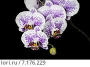 Пятнистые цветы орхидеи на черном фоне. Стоковое фото, фотограф Михаил Иванцов / Фотобанк Лори
