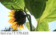 Купить «Цветущие Подсолнухи», видеоролик № 7179633, снято 19 августа 2014 г. (c) Юрий Пономарёв / Фотобанк Лори