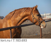 Портрет донской лошади выглядывающей из левады ранней весной на размытом фоне. Стоковое фото, фотограф Елена Зенкович / Фотобанк Лори