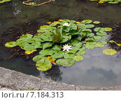 Водяные лилии в пруду. Стоковое фото, фотограф Евгений Ткачёв / Фотобанк Лори