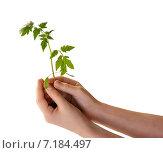 Растение рассады в бережных руках. На белом фоне. Стоковое фото, фотограф Анастасия Ульянова / Фотобанк Лори