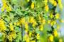 Цветущий барбарис (Berberis), эксклюзивное фото № 7199833, снято 18 мая 2014 г. (c) Алёшина Оксана / Фотобанк Лори