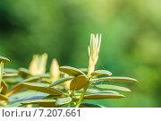 Азалия (Azalea) в вересковом саду ГБС РАН весной. Стоковое фото, фотограф Алёшина Оксана / Фотобанк Лори