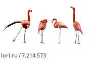 Купить «Четыре фламинго на белом фоне изолировано», фото № 7214573, снято 24 апреля 2010 г. (c) Наталья Волкова / Фотобанк Лори
