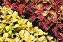 Декоративное растение колеус двух цветов на клумбе, фото № 7221725, снято 10 июня 2006 г. (c) Солодовникова Елена / Фотобанк Лори