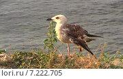 Чайка со сломанным крылом на морском берегу. Стоковое видео, видеограф Арташес Оганджанян / Фотобанк Лори