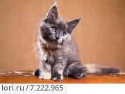 Купить «Котенок породы мейн-кун», фото № 7222965, снято 5 августа 2014 г. (c) Gagara / Фотобанк Лори