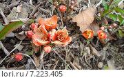Купить «Цветы айвы», фото № 7223405, снято 13 мая 2012 г. (c) Владимир Михайлюк / Фотобанк Лори
