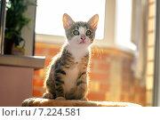 Котенок в контровом свете. Возраст 2 месяца. Стоковое фото, фотограф Савчук Алексей / Фотобанк Лори