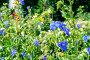 Цветущая коммелина, фото № 7226061, снято 22 июля 2017 г. (c) Зезелина Марина / Фотобанк Лори