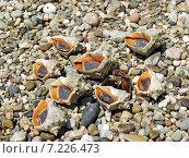 Купить «Морские ракушки крабов-отшельников и мидии на галечном пляже», фото № 7226473, снято 26 июля 2004 г. (c) Евгений Ткачёв / Фотобанк Лори