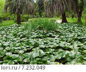 Купить «Пальмы на берегу заросшего пруда, покрытого кувшинками», фото № 7232049, снято 15 июля 2004 г. (c) Евгений Ткачёв / Фотобанк Лори