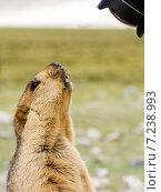 Купить «Смешной и забавный гималайский сурок (мармот) удивлённо смотрит в объектив камеры в Ладакхе, северная Индия», фото № 7238993, снято 29 августа 2012 г. (c) Олег Иванов / Фотобанк Лори