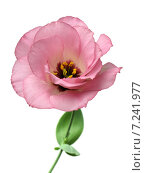 Купить «Розовый лизиантус на белом фоне», фото № 7241977, снято 13 августа 2014 г. (c) Wanda / Фотобанк Лори