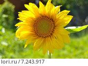 Подсолнух. Стоковое фото, фотограф Екатерина Бычкова / Фотобанк Лори