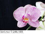 Цветок орхидеи на темном фоне. Стоковое фото, фотограф Михеев Павел / Фотобанк Лори