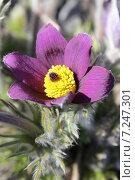 Купить «Цветение сон-травы», эксклюзивное фото № 7247301, снято 9 апреля 2015 г. (c) Наташа Антонова / Фотобанк Лори