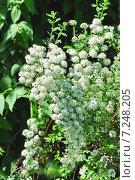 Купить «Спирея Вангутта (Spiraea vanhouttei)», эксклюзивное фото № 7248205, снято 17 мая 2012 г. (c) Алёшина Оксана / Фотобанк Лори