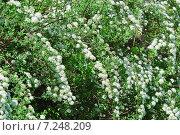 Спирея Вангутта (Spiraea vanhouttei) Стоковое фото, фотограф Алёшина Оксана / Фотобанк Лори