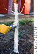 Купить «Побелка фруктового дерева весной», эксклюзивное фото № 7251189, снято 11 апреля 2015 г. (c) Галина Лукьяненко / Фотобанк Лори