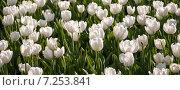 Белые тюльпаны. Стоковое фото, фотограф Игорь Леонов / Фотобанк Лори