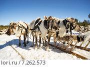 Оленья упряжка зимой. Стоковое фото, фотограф Алексей Маринченко / Фотобанк Лори