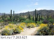 Купить «Путешествие по цветущей пустыне Сонора в национальной парке Сагуаро, Аризона, США», фото № 7263621, снято 1 апреля 2015 г. (c) Ирина Кожемякина / Фотобанк Лори