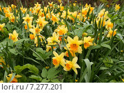 Купить «Цветущие желтые нарциссы», эксклюзивное фото № 7277201, снято 8 мая 2011 г. (c) Щеголева Ольга / Фотобанк Лори