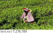 Купить «Женщина собирают чайные листья в Нувара Элия. Шри-Ланка», видеоролик № 7278789, снято 9 апреля 2015 г. (c) Михаил Коханчиков / Фотобанк Лори