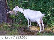 Купить «Белая коза с козленком пасутся в лесу», эксклюзивное фото № 7283565, снято 25 июля 2014 г. (c) Елена Коромыслова / Фотобанк Лори